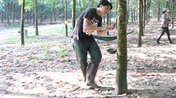 Bón phân Văn Điển cho cây cao su