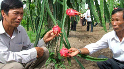 Trà Vinh: Thanh long ruột đỏ mùa nghịch cho lợi nhuận cao