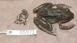 Loài ếch đẻ nòng nọc duy nhất trên hành tinh