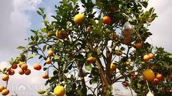 """Lạc vào vườn cây """"ngũ-thất-cửu quả"""" độc nhất vô nhị giữa Thủ đô"""