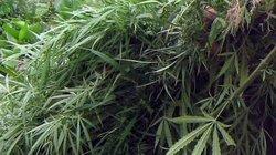 Cà Mau: Công an thu giữ hơn 1 tấn cần sa trồng trái phép