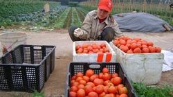 Sử dụng phân hỗn hợp NPK-S Lâm Thao cho cây cà chua