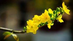 Mai vàng bén rễ đất Đam Rông
