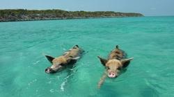 Video độc đáo: Lợn đi bơi