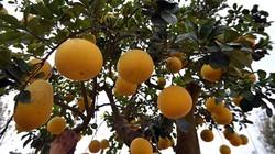"""Mãn nhãn ngắm cây bưởi bonsai 68 quả """"trăm triệu chưa mua được"""""""