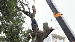 Xà cừ cổ thụ lại bị chặt hạ trong đợt đốn cây lớn nhất ở HN
