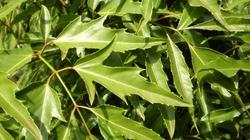 Công dụng chữa bệnh của cây đinh lăng