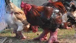 """Chủ trại gà Đông Tảo tiết lộ bí quyết luyện gà """"nghìn đô"""""""