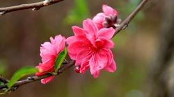 Chọn và bài trí hoa ngày Tết theo phong thủy