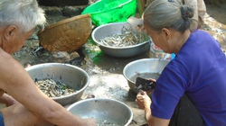Tát mương bắt cá ăn Tết ở quê tôi