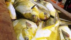2 tiếng ra khơi, trúng đậm mẻ cá két gần 400 triệu đồng