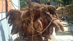 """""""Lộc"""" đầu năm: Đào được củ khoai vạc nửa tạ trong vườn"""
