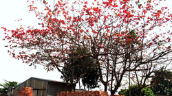 Văn Trì mùa đỏ những tán bàng…