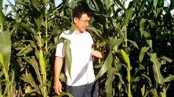 Cây trồng biến đổi gen tác hại với sâu, lợi với vật nuôi