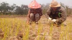 Nước mặn xâm nhập: Hàng ngàn ha lúa miền Trung bị ảnh hưởng