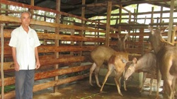 Hai nông dân miền Tây thu nhập hàng trăm triệu nhờ nuôi nai