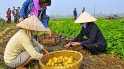 Công nghệ trồng khoai tây sạch bệnh không cần đất