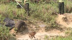 Hàng chục kiểm lâm vây bắt con khỉ tấn công khách quốc tế