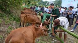 Quảng Ninh: Bò giống chết do sức đề kháng kém