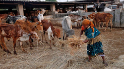 Nông dân Ấn Độ điêu đứng vì lệnh cấm thịt bò