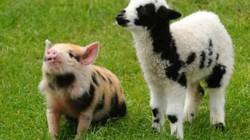 Người sẽ được ghép nội tạng nuôi trong lợn