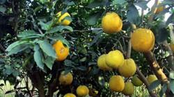 Chùm ảnh: Hương bưởi Diễn chín vàng trên vùng đất Minh Khai