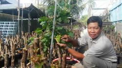 5.000 gốc nho kiểng Ninh Thuận bán Tết