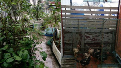 GS nông nghiệp 83 tuổi tự nuôi gà, trồng rau trên sân thượng