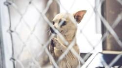 Chú chó chắp tay cầu khẩn được nhận nuôi