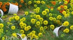 Tan tác hoa Tết vì gió giật mưa rét