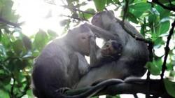 Trò khỉ ở Hoa Hỏa Đào