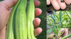 5 bước cực dễ để trồng đậu bắp sai trĩu quả tại nhà