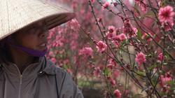 Đào nở đỏ rực sau Tết, nông dân Nhật Tân đỏ mắt