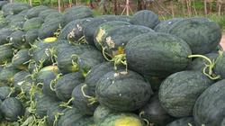 """Đầu năm dưa hấu tuột giá 2.000 đồng/kg, nông dân thu... """"lộc đắng"""""""