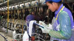 Ngành chăn nuôi bò sữa trong nước: Chết vì... khái niệm sữa