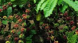 Cà phê tăng năng suất, tăng giá trị nhờ tham gia PPP