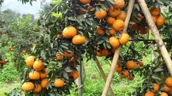 Đã mắt vườn cam sành Hà Giang chín mọng, trĩu quả