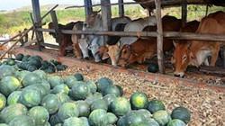 Dưa hấu 300 đồng/kg, dân đổ cho trâu, bò ăn