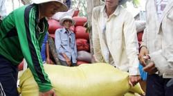 Thương lái tranh mua lúa tại ruộng, nông dân lời khá