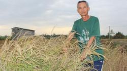 Đồng Nai: Dân trắng tay vì lúa lép hạt