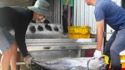 Ngư dân trúng đậm cá ngừ đại dương, mỗi chuyến cả trăm con
