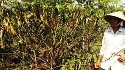Khô hạn nhất 30 năm: Cà phê Tây Nguyên... hóa củi
