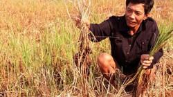 Hạn mặn miền Tây: Sao phải ngăn mặn cấy lúa?