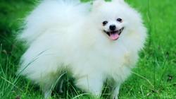 Top 10 loài chó có cân nặng khiêm tốn nhất thế giới