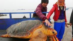 """Từ chối 1500USD, thả """"cụ rùa"""" khổng lồ trăm tuổi về biển"""