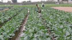 Điểm sáng trong phát triển rau sạch ở huyện Mê Linh
