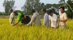 Sử dụng phân bón DAP Lào Cai: Nông dân hết lo lúa bị sâu hại