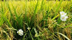 Đài thơm 8 - giống lúa kháng bệnh, chịu mặn tốt