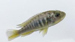 Sốc nặng với cá cái mọc thêm tinh hoàn, tự sinh sản