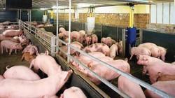 Từ 1.7, sử dụng chất cấm trong chăn nuôi sẽ bị phạt tù đến 20 năm